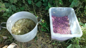 """Elderflower and heather being used as natural yeast."""